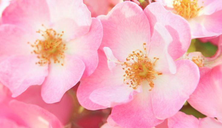 rosa-mosqueta-1-1014x586